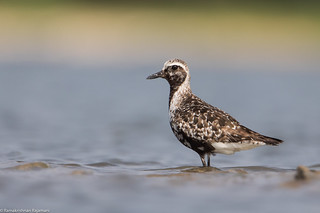 Grey Plover | Pulicat Lake | Oct 2016 | by Ramakrishnan R - my experiments with light