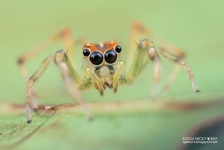 Jumping spider (Salticidae) - DSC_5110