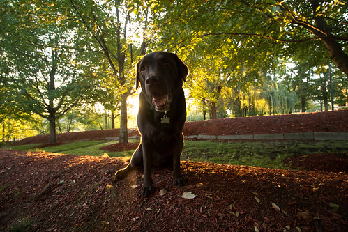 green sunrise wideangle chocolatelab labradorretriever backlit freya