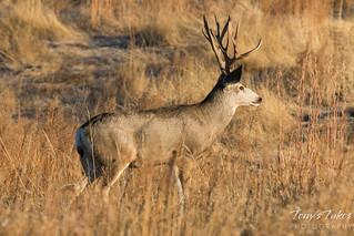 Mule Deer Buck with an impressive rack | by TonysTakes