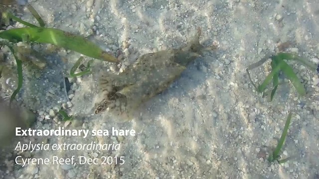 Extraordinary sea hare (Aplysia extraordinaria)