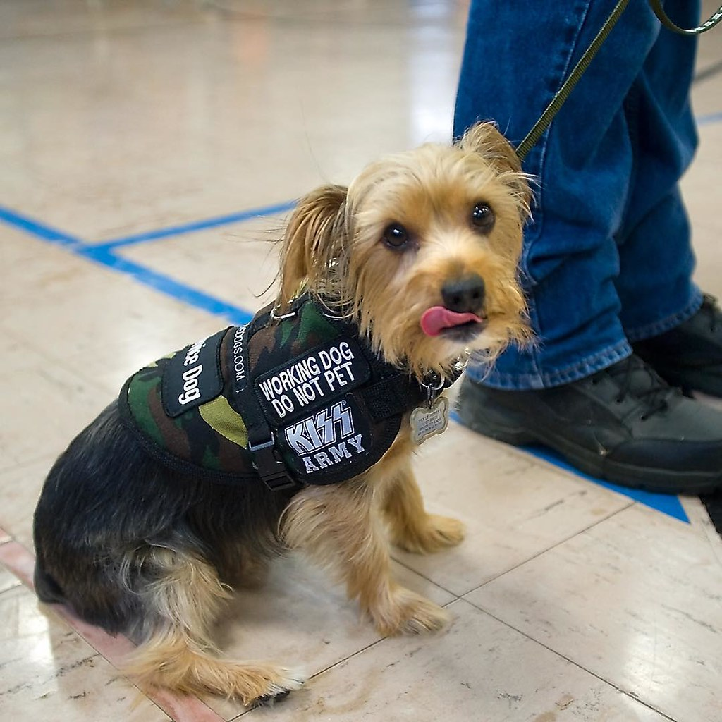 Pickle A Yorkie Sits Obediently By His Handler Robert P Flickr