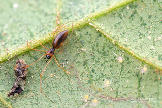 Comb-footed spider (Helvibis sp.) - DSC_0843