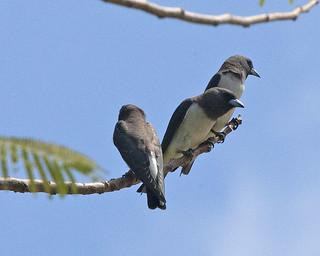 White-breasted Woodswallow (Artamus leucorynchus)