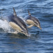 Flickr photo 'Common Dolphins' by: 0ystercatcher.