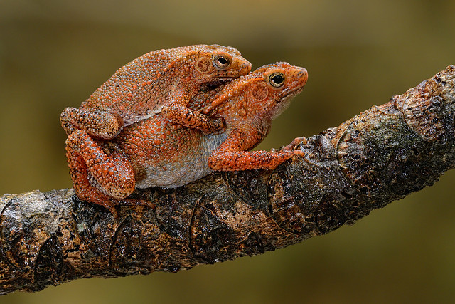 151003 - Four-Ridged Toad