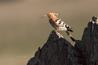 Hoopoe-Extremadura_w_1309 | by Stephen Daly