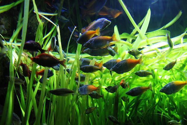 Shedd Aquarium- River fishes