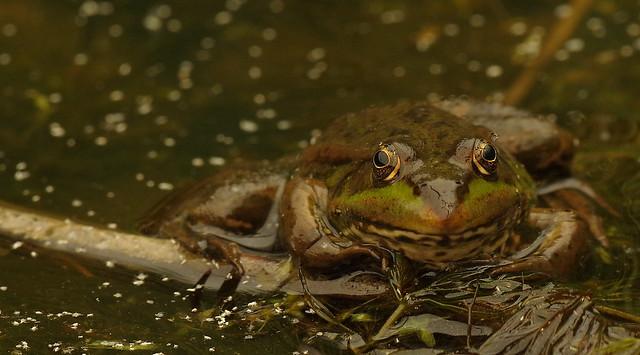 Marsh Frog, Rainham Marshes, RSPB K__35187