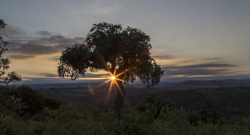 tree sunrise southafrica cabbage cabbagetree mpumalanga lydenburg cussoniaspicata kuduranch kuduprivatenaturereserve kudugameranch