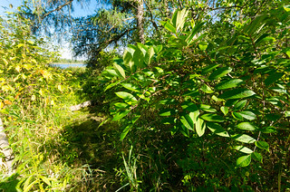 Poison Sumac (Toxicodendron vernix) on the Trail | by wackybadger