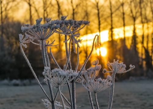 sunrise golden ngc amazing lechlade swindon gloucestershire sun orange nikon d5300 sigma 105mm river plant plants ice icy icey cold frozen