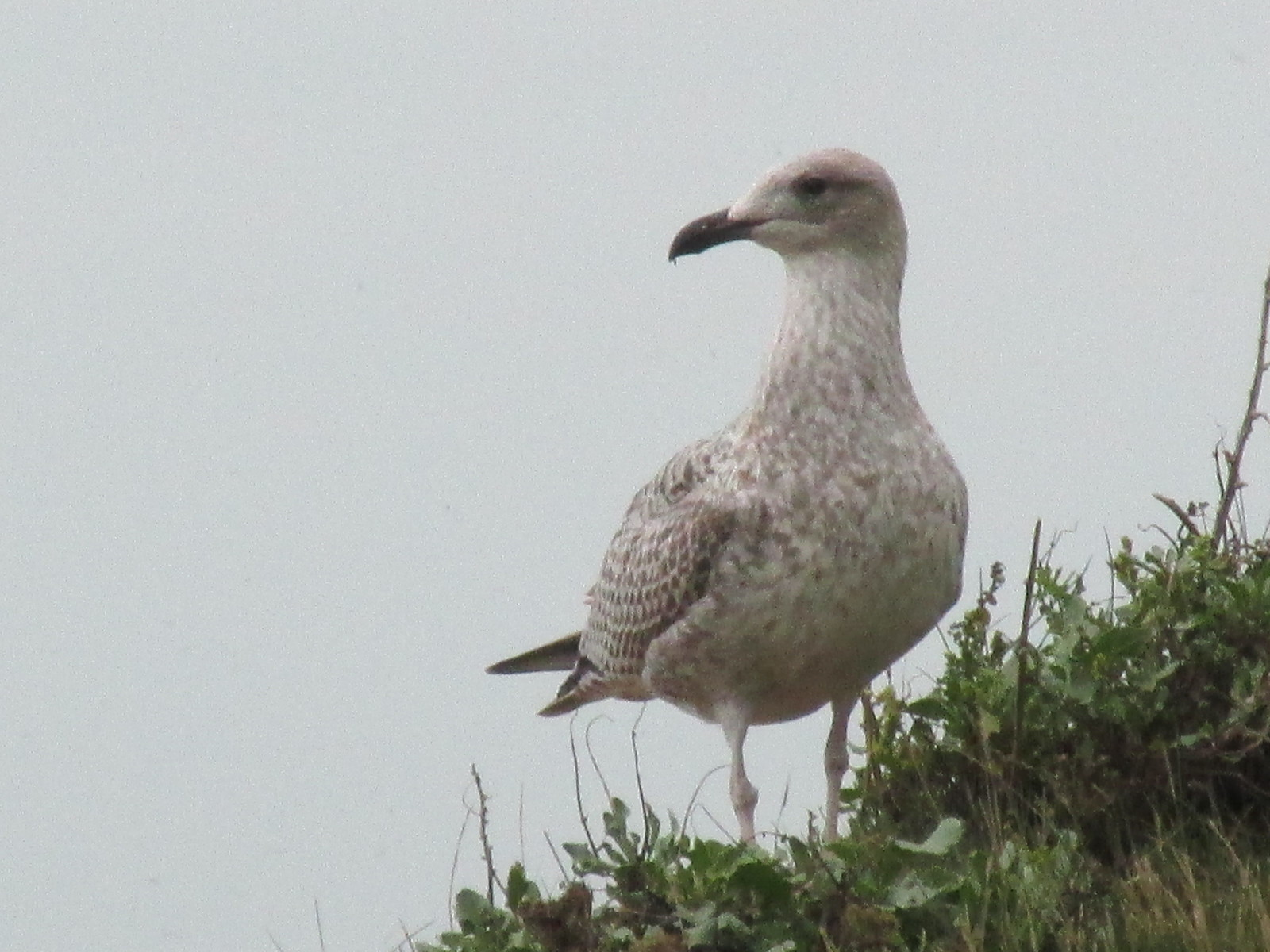 August 29, 2015: Lewes to Seaford Gull on cliff's edge