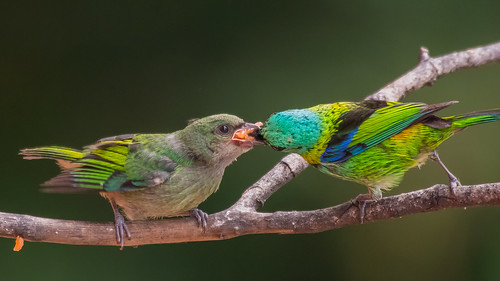 Saíra-sete-cores / Tangara seledon / Green-headed Tanager | by sergiocosta64