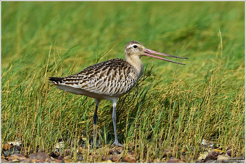Bar-Tailed Godwit | by oLDcaR