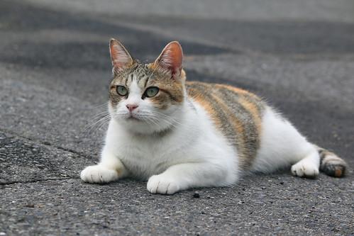 IMG_5327 Calico Japanese cat 縞三毛猫