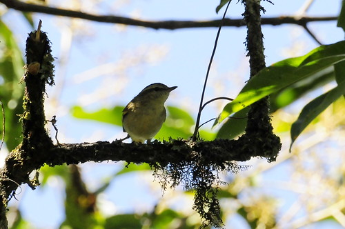 Sulawesi Leaf Warbler (Phylloscopus sarasinorum) | by Ulcia.tr
