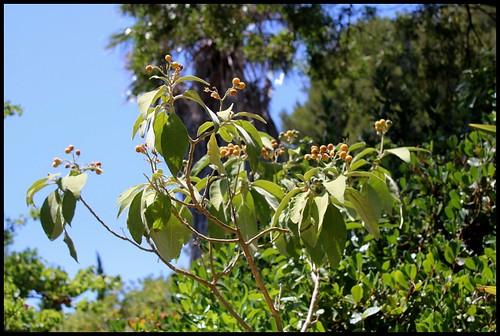 Solanum mauritianum - bringellier marron 22181063121_c0f284b7d9