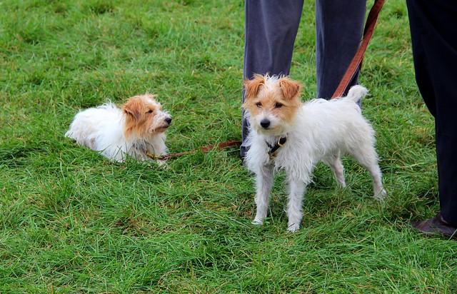 Twin terriers