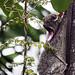 Mammals of Malaysian Borneo