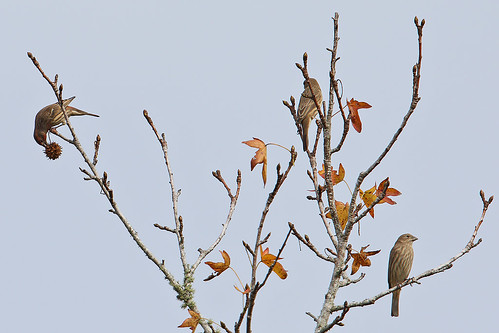 bird birds finch finches male femal front back housefinch house three 3 pair feeding eating sweetgum tree sky depthoffield isolated steveraduns raduns ibiscove flemingisland fl florida claycounty leaves yellowleaves fall autumn nature wildlife passerine songbird