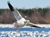 Oie des neiges / Snow Goose by anjoudiscus