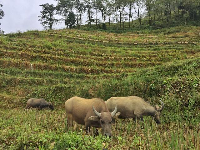 Arrozales en Sapa (Vietnam)