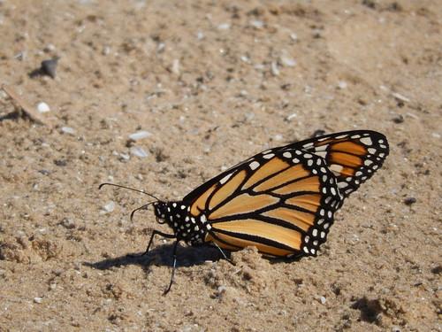 Sandbanks Provincial Park - vlinder op strand