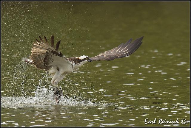 Osprey grabbing da fish