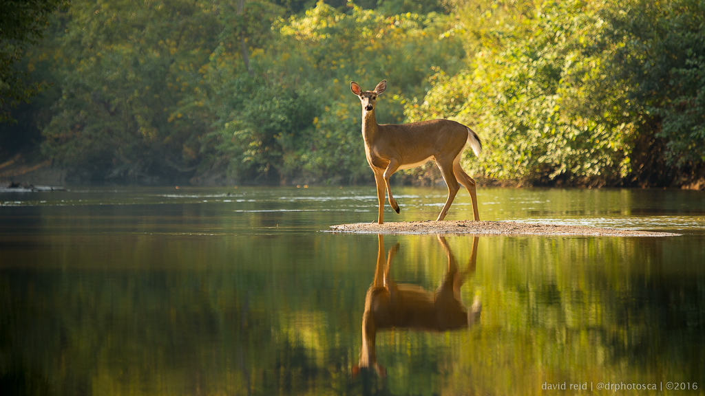 River deer - DAY 262 - 365 day photo challenge