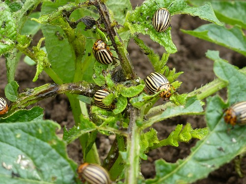 Funny beetles vs potato tops :) | by sergey245x
