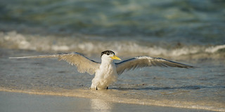 Greater Crested Tern (adult, resident species) | by tickspics