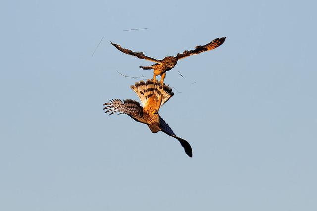 Owl Vs. Harrier #4