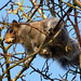 Flickr photo 'GreySquirrel, Sciurus carolinensis' by: gailhampshire.