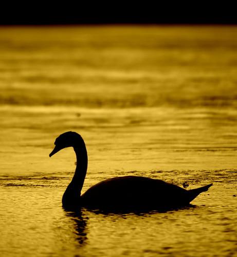 aberdeenshire swan lochofskene sunset sunrise flickr scotland silhouette canon