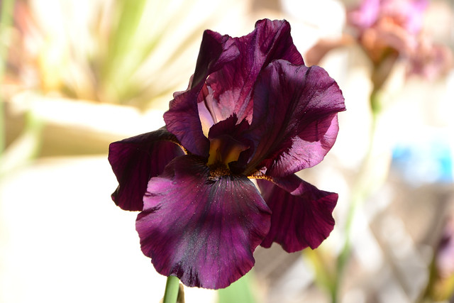 Iris 'Trinity' - Ralph Coleman 1972 32494698866_246b88fb54_z