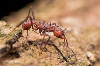 Leaf-cutter ant (Acromyrmex sp.) - DSC_8910