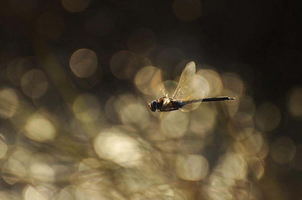 1070 Inanna' s Dragonfly ...