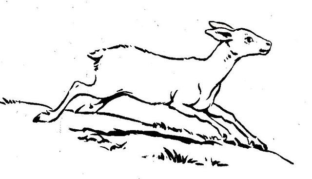 Reindeer calf on the run in Lapland