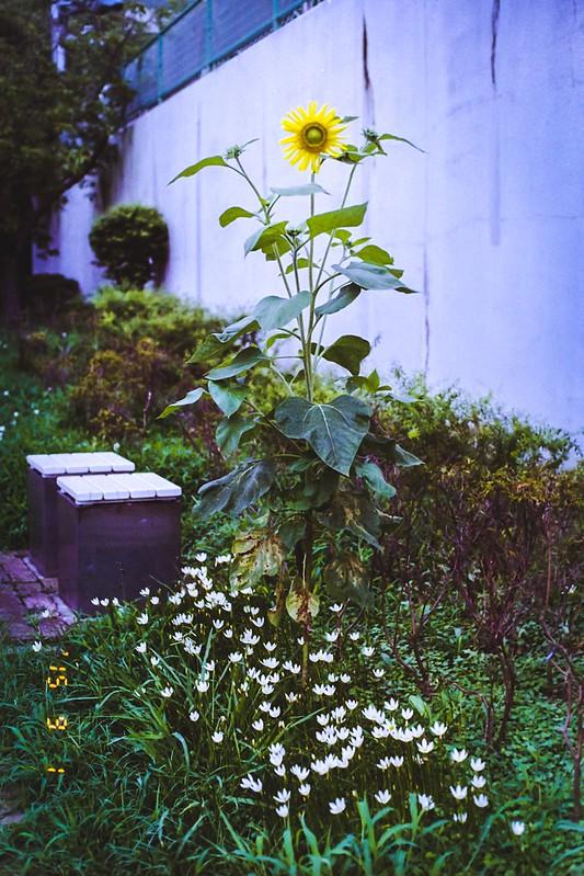 向日葵150901-1