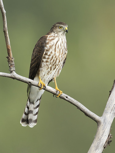 birds bc hawk britishcolumbia perched shelley sharpshinnedhawk princegeorge accipiterstriatus sharpshinned jeffdyck accipter