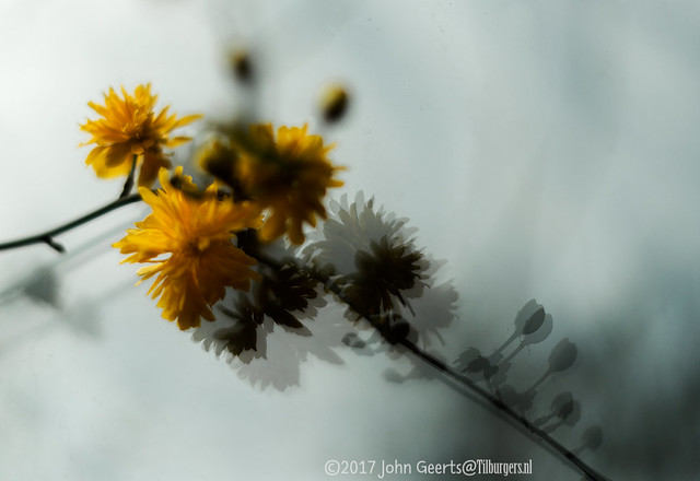First Kerria flowers