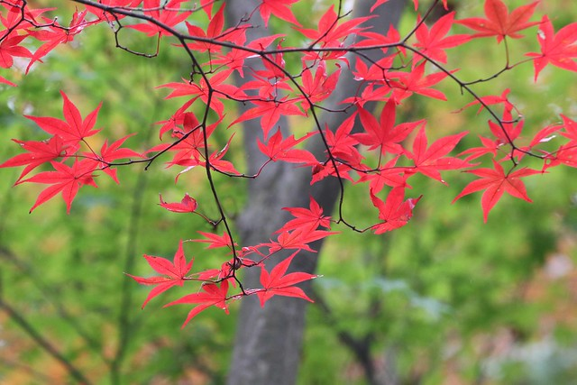 My Favorite Momiji(Maples)