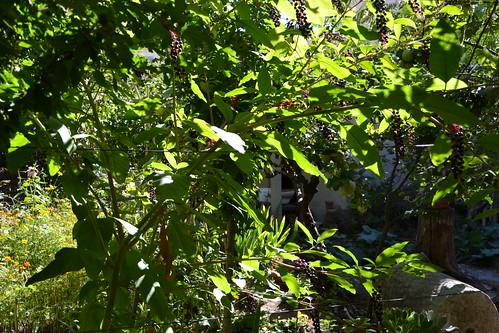 Phytolacca americana - raisin d'Amérique 32938460355_40a4cd2a69