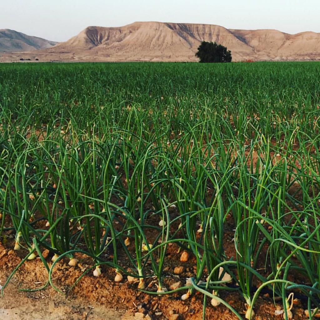 onions#desert #israel #israeli #agriculture #judeandesert