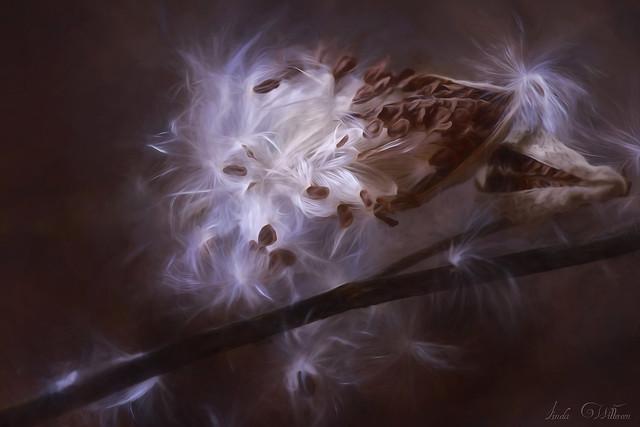 Milkweed in The Fall