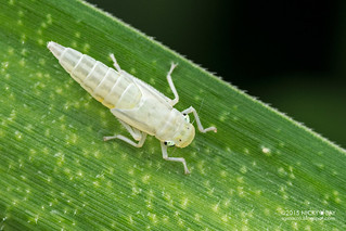 Leafhopper (Cicadellidae) - DSC_9551