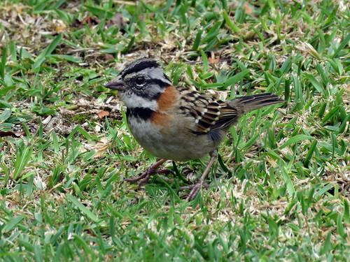 Rufous-collared Sparrow | by magnificentfrigatebird
