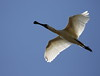Royal Spoonbill  Platalea regia by Neil Cheshire