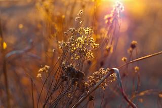 golden bokeh   by pepperberryfarm